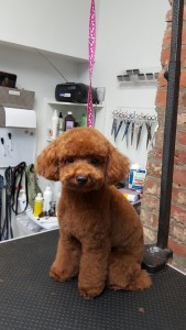cute poodle in a puppy cut